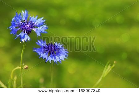 Double blue cornflower isolated on green background .