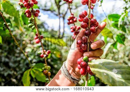 Hand holds branch of ripening coffee beans near Antigua, Guatemala, Central America