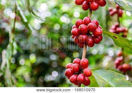 Ripening coffee beans on bush near Antigua, Guatemala, Central America