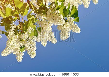 White lilac flowers against blue sky - spring background with lilac. Spring lilac in blossom. Closeup of lilac in spring bloom. White lilac against blue sky