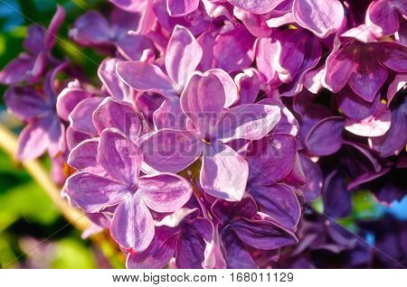Lilac flowers, spring floral background with lilac. Selective focus at the central lilac flowers. Lilac at the garden. Spring blossom of lilac tree