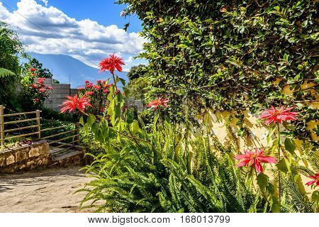 Poinsettias & ferns grow alongside wall in country lane with view of Agua volcano behind near Spanish colonial town & UNESCO World Heritage Site of Antigua in Panchoy Valley, Guatemala, Central America.