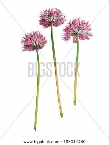 Pressed and dried flower allium schoenoprasum (chive). Isolated on white background. For use in scrapbooking floristry (oshibana) or herbarium.
