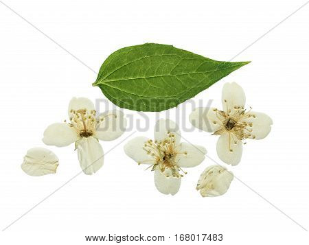 Pressed and dried flower Jasmine. Isolated on white background. For use in scrapbooking floristry (oshibana) or herbarium.