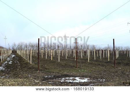 Young Vineyard Field