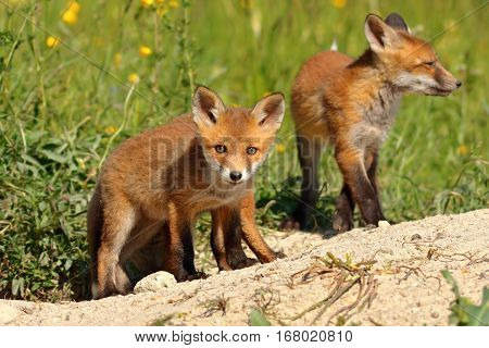 curious red fox cub looking at the camera (Vulpes wild animal)