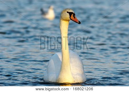 mute swan swimming towards the camera on blue surface of the lake ( Cygnus olor )