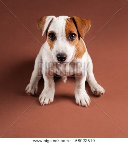 Puppy at brown background. Dog studio short