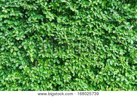 Pattern of green leaves foliage texture background.