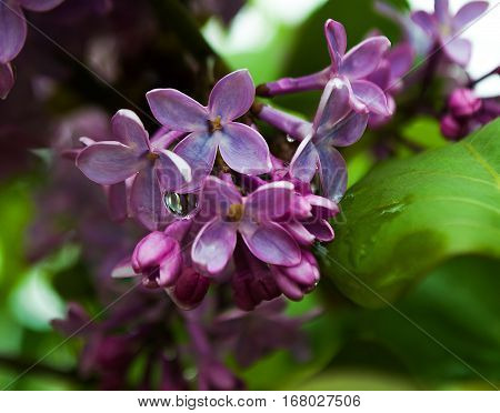 Fragrant lilac flowers bloom in spring outdoors in spring day