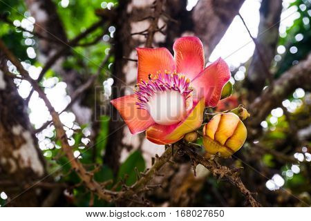 Close up of red cannonball tree flower