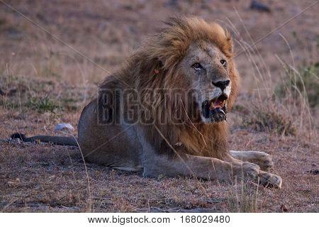 lion at tanzania national parks, Tanzania, africa