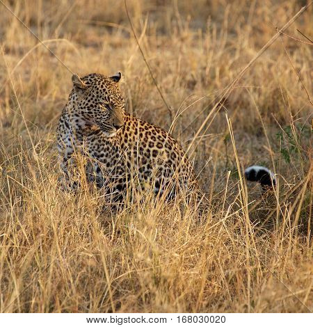 leopard at tanzania national parks, Tanzania, africa