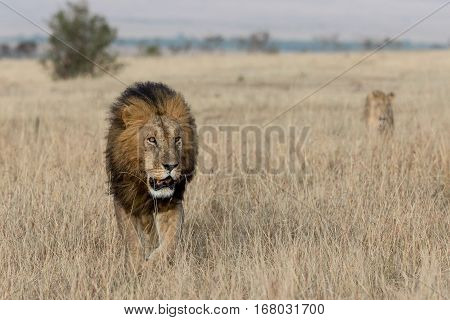 lioness in tanzania national park, Tanzania, Africa