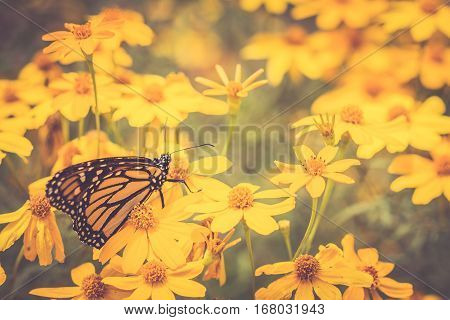 Monarch Butterfly in Garden Sitting on Golden Flowers Horizontal with Idillic Look