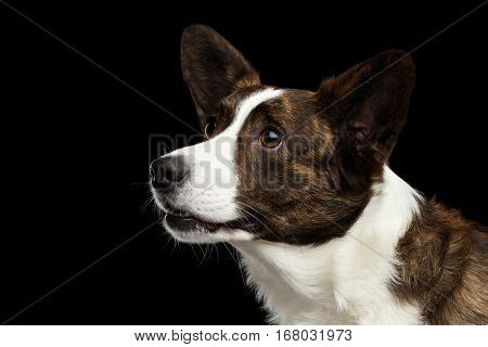 Close-up portrait of Brown with white Welsh Corgi Cardigan Dog, Alert face looking up on Isolated Black Background, Profile view view