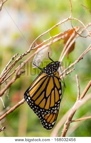 Monarch Butterfly Just out of Chrysalis Warming in the Sunshine Vertical