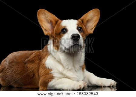 Red Welsh Corgi Cardigan Dog Lying and looking up on Isolated Black Background with reflection, front view