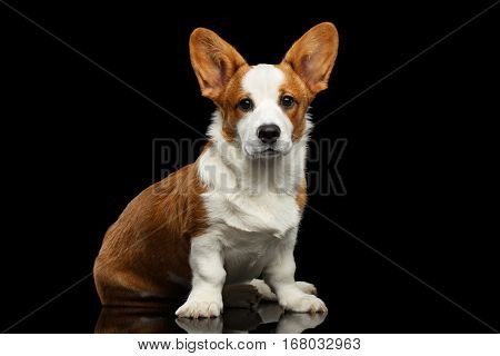 Red with white Welsh Corgi Cardigan Dog Sitting with cute face and lookingin camera on Isolated Black Background with reflection, front view