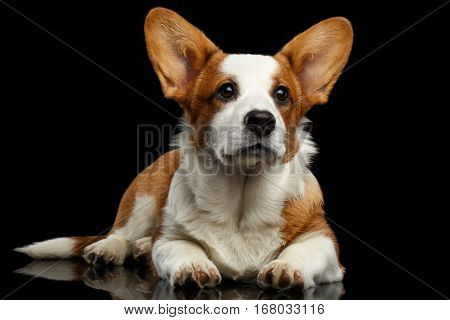 Red with white Welsh Corgi Cardigan Dog Lying with cute face and looking up on Isolated Black Background with reflection, front view