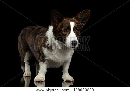 Welsh Corgi Cardigan Dog Standing on Isolated Black Background, front view
