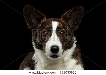Close-up portrait of Brown with white Welsh Corgi Cardigan Dog, Curious face looking in camera on Isolated Black Background, front view
