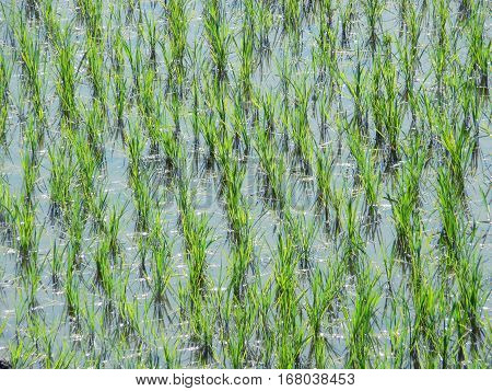 Close-up of rice saplings in a submerged rice field, yielding a semi-regular pattern.
