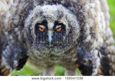 owl with sleepy eyes, drink coffee, do not sleep on steering, long-eared owl , Asio otus