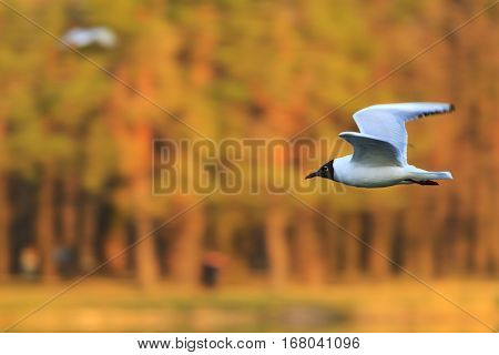 black and white seagull flying on a background of colored woods, wildlife, waterfowl, black and white bird, fly