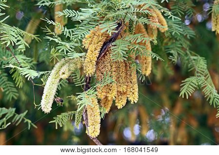 Bee collects nectar on blooming acacia in spring