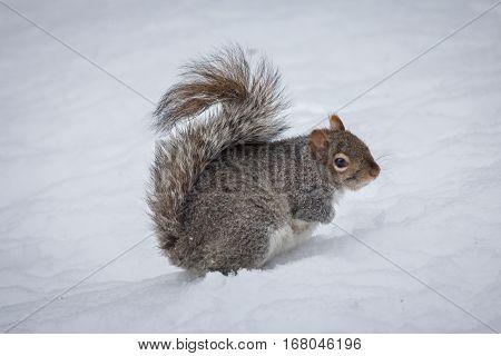 Eastern Gray Squirrel (Sciurus carolinensis) in the snow