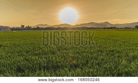 Green Rice Field With Big Sunset Sky In Evening Time