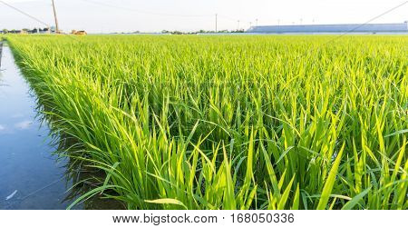 Organic Rice Filed In Japan . Growth Rice Sprout When Green Color