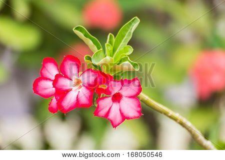 Desert Rose flower, Impala Lily , nature