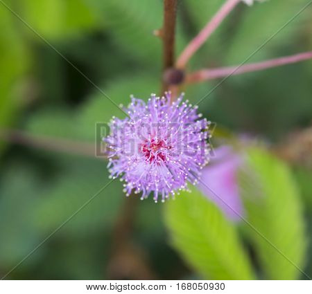 close up pink color flower sensitive or sleepy plant with pollen