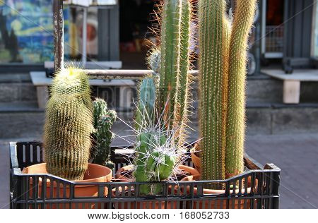 Mix of cactuses in the box outside
