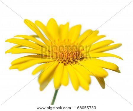 beautiful yellow daisy flower petals close up