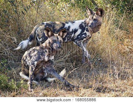 African Wild Dog Kruger NP South Africa