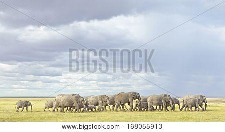 Herd of elephants in the Amboseli NP Kenya