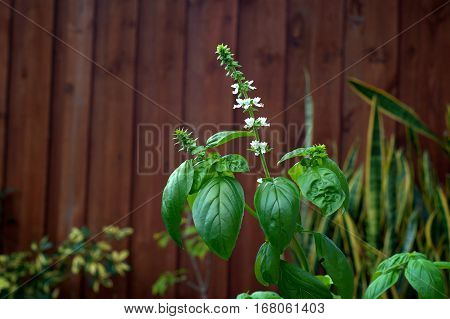 A large backyard Sweet Basil plant with flower stalks and small white blooms.
