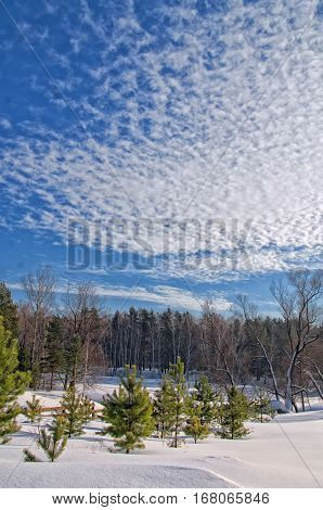 young pine trees on a snowy field