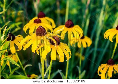 Black eyed Susan flowers in tall grass