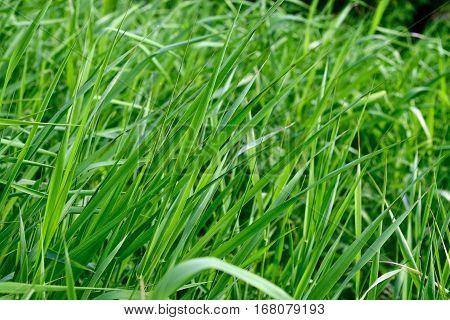 Bright long green grass summer background. Close-up.