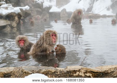 Japanese Mother And Baby Snow Monkeys In Natural Hot Spring Bath In Winter