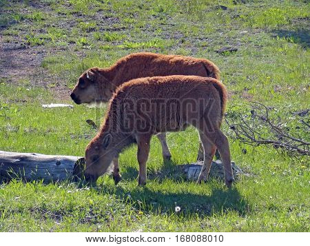 Two Baby Bison Buffalo Calves In Yellowstone National Park In Wyoming Usa