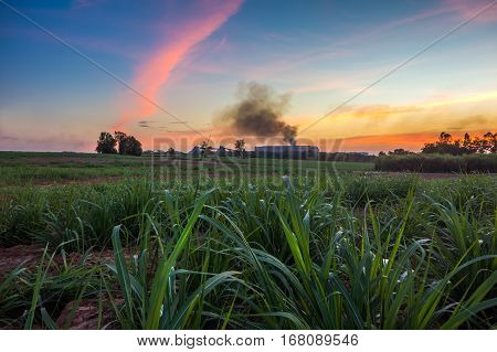 Sugar Cane Field With Sugar Factory Background Landscape Sunset .