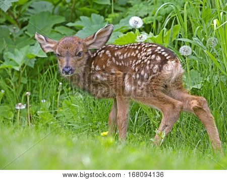 Cute Newborn Mule Deer Fawn standing in grass watching
