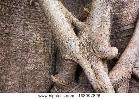 big roots of a tree of an abstract interlacing closeup