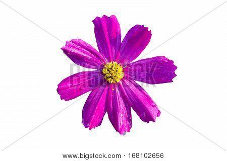 Cosmos flower in field, beauty in cosmos