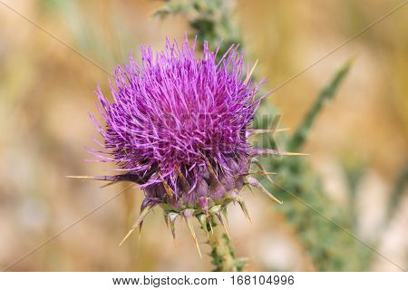 One flower of a blossoming pink thistle